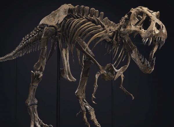skeleton of a T rex