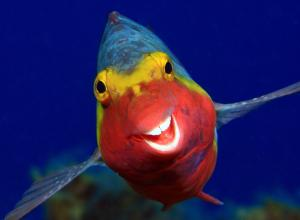 Arthur Telle Thiemann photo of a tropical fish with a big toothy smile