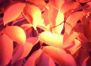 Infrared shot of leaves. Gives orange, dark, spooky effect