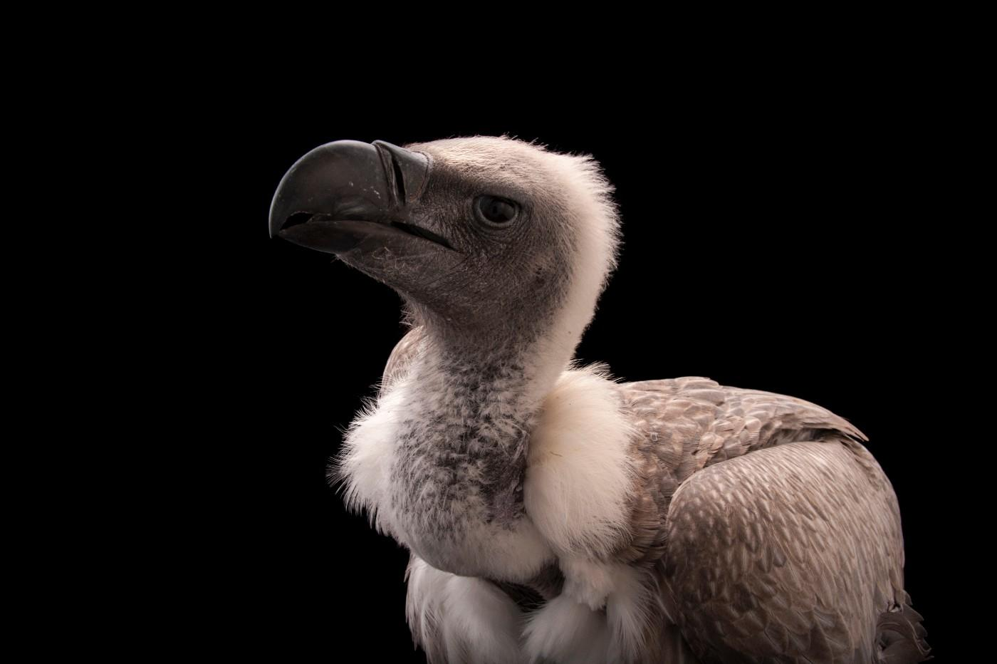 A critically endangered African white backed vulture, Gyps africanus, at the Cleveland Metroparks Zoo.