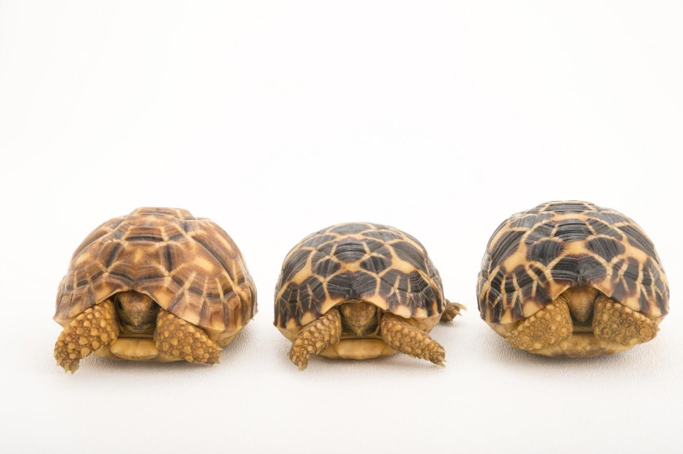 Three critically endangered, yearling Burmese star tortoises, Geochelone platynota, at the Turtle Conservancy.