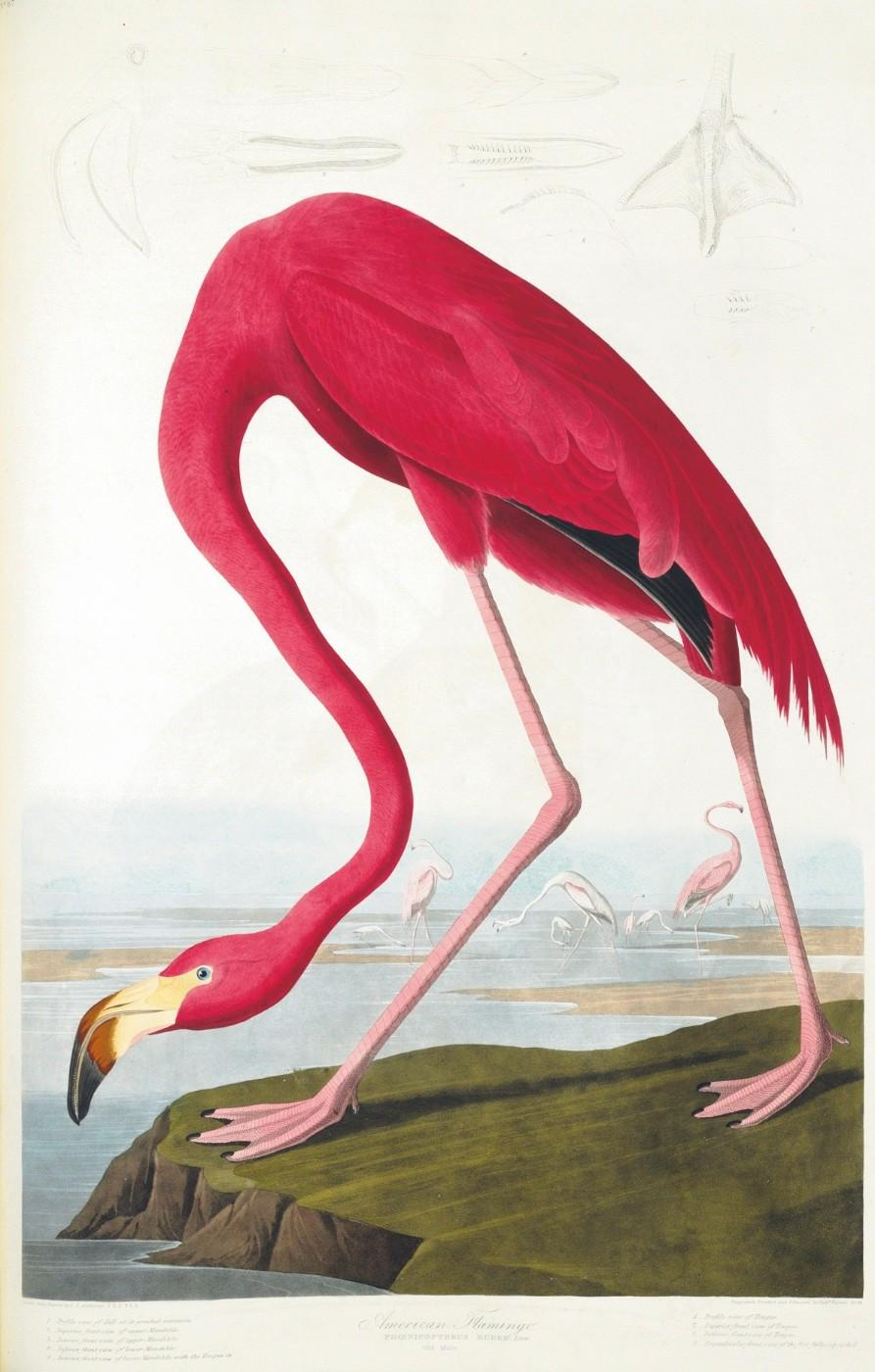 "The American Flamingo, from John James Audubon's ""The Birds of America"""