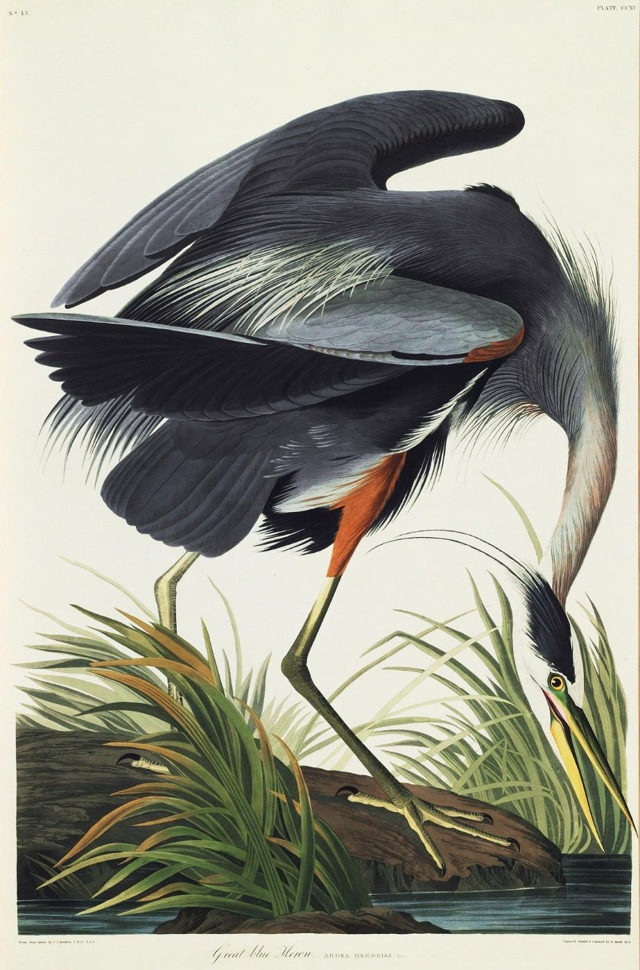 "The Great Blue Heron, from John James Audubon's ""The Birds of America"""