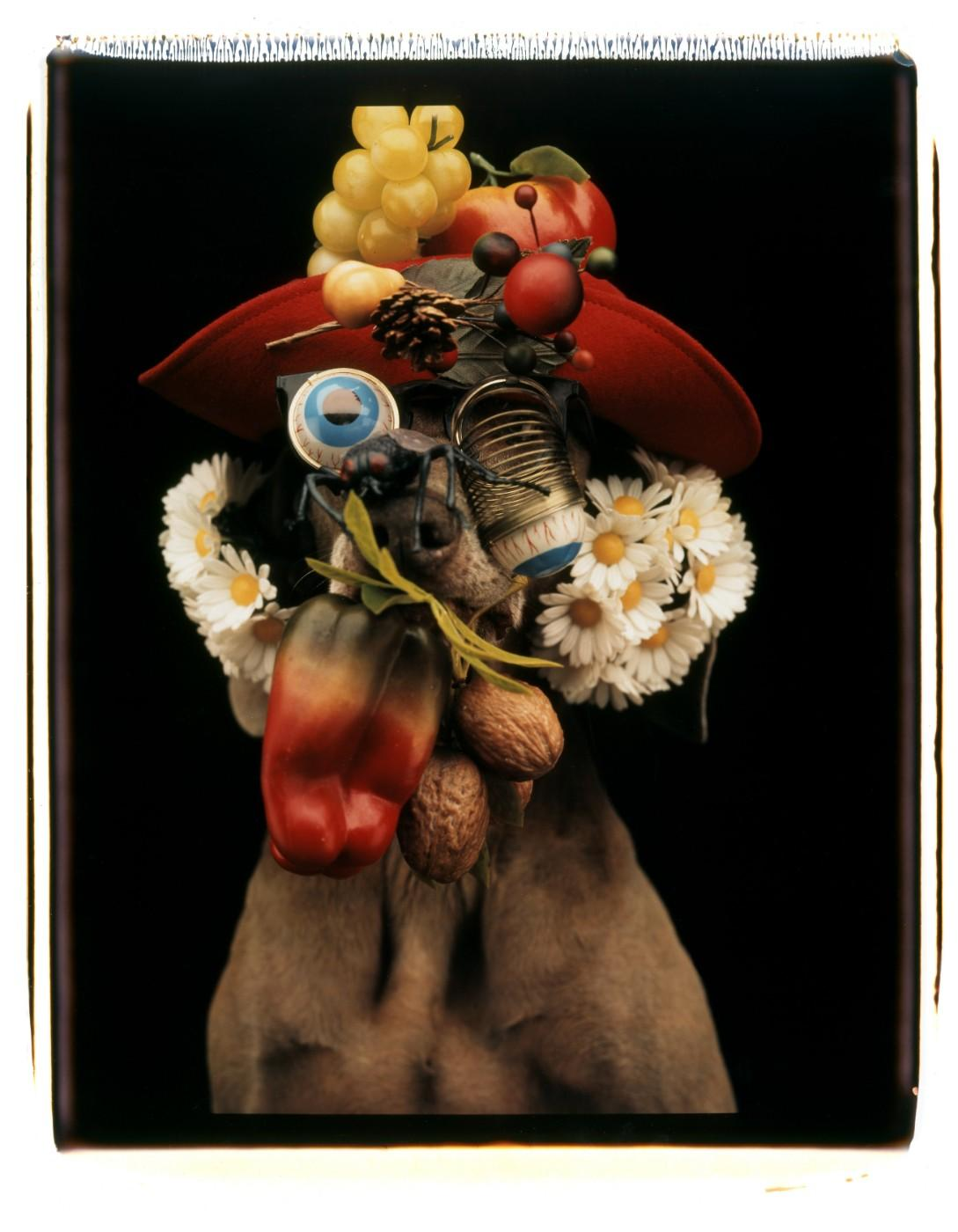 William Wegman, Daisy Nut Ball, 1994. Color Polaroid, 24 x 20 in.