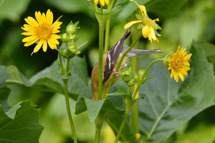 photograph of a goldfinch upside down with its head in a flower