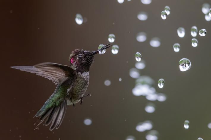 photograph of hummingbird in flight with its beak piercing a water droplet