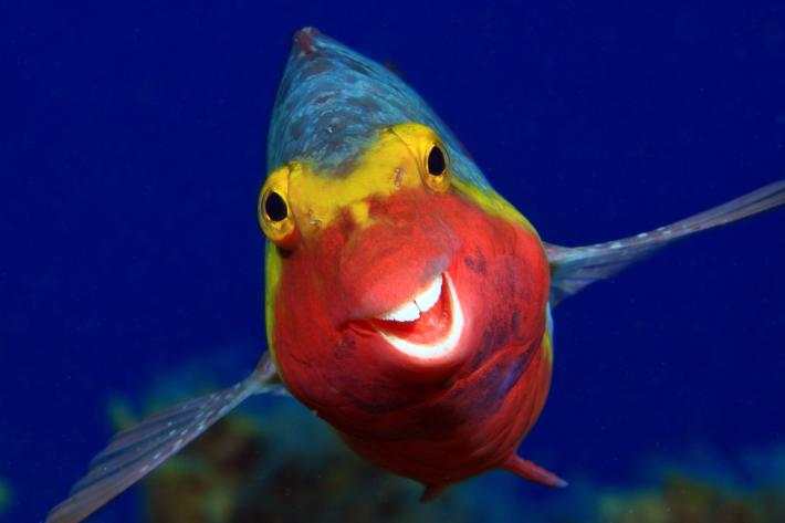 photo of a tropical fish with a what looks like a big, toothy smile