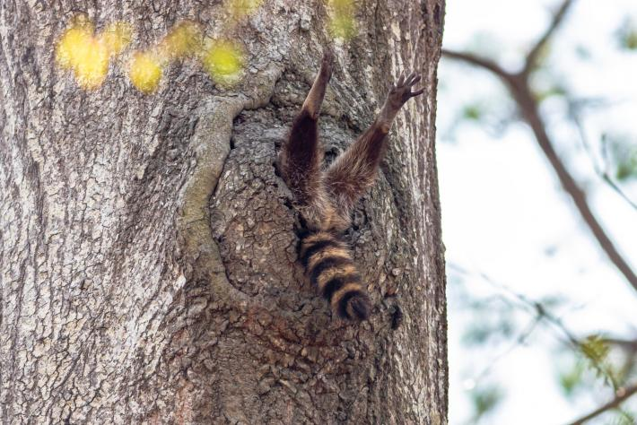 photograph of a hole in a tree trunk with just a racoon's hind legs and tail sticking out