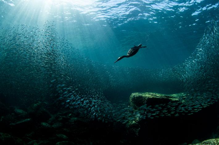 photograph from underwater of a bird diving after scattering fish