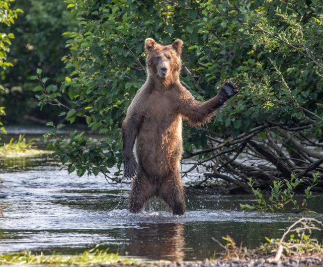 photo of a bear standing on its hind legs in the creek waving one paw