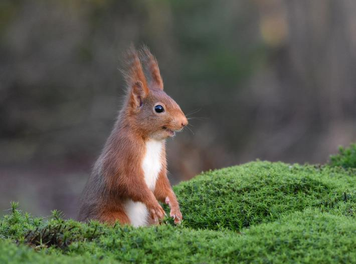 photo of a red squirrel with tall tufted ears smirking