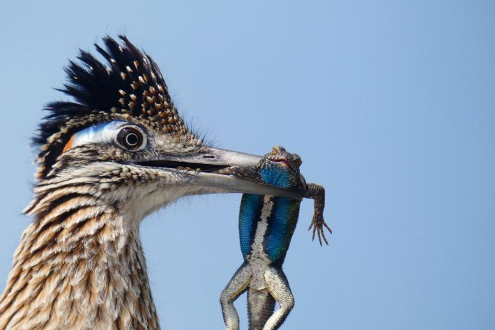 photograph of a roadrunner with a lizard in its mouth