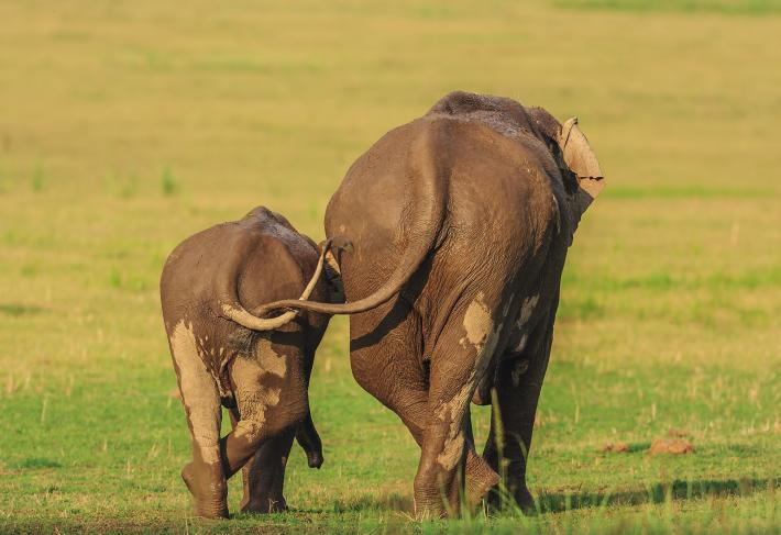 photo of an adult and child elephant from behind, their tail intertwined while they walk