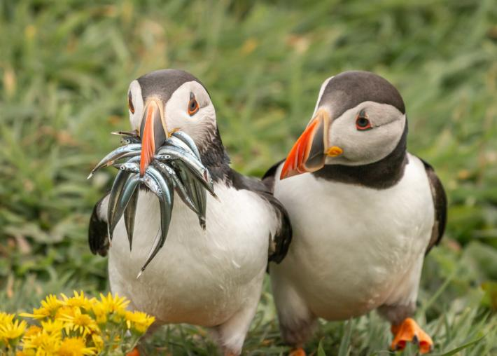 photo of two puffin penguins, one with a mouth full of fish while the other looks on pleadingly