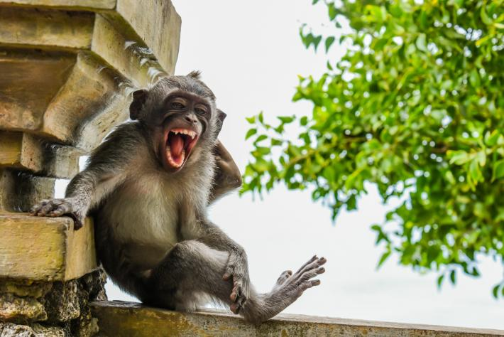 photo of a monkey perched on a ledge laughing