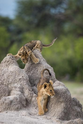 photograph of lion cubs climbing on rocks