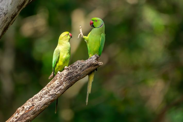 photograph of two tropical green birds on a branch, one raising its foot in the others face