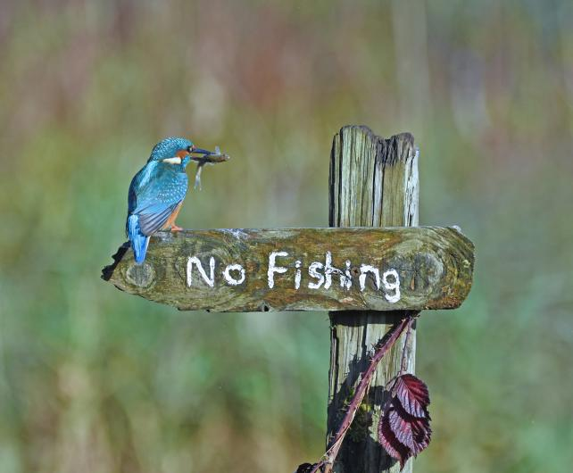 "photo of a blue kingfisher bird with an insect in its mouth perched on a ""no fishing"" sign"